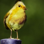 real-life-angrybirds-yellow-bird